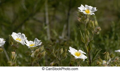 white flowers in the mountains of the Iberian Peninsula