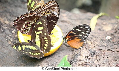 butterflies feeding with juice