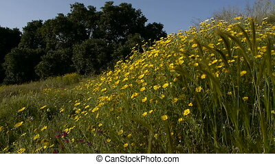 field of daisies - daisy field in spring with carob behind