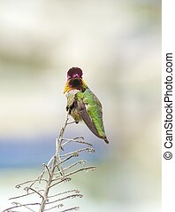 Annas hummingbird - Portrait view of a small Annas...