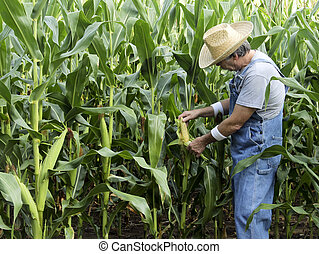 Farmer checking corn field - Farmer checking the cobs on a...
