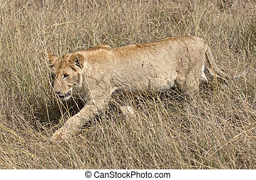 Lioness - African lioness hunting in grasses of masai Mara...