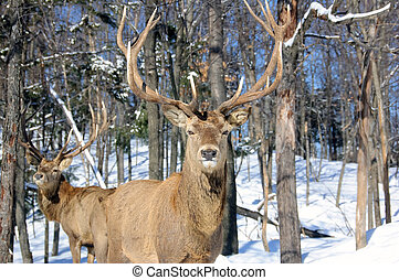 Elk - Wild elks in winter