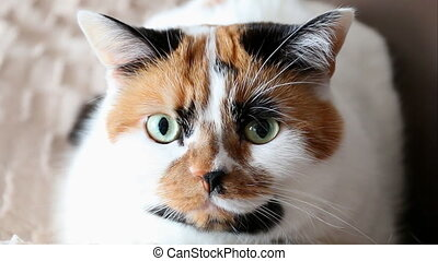 Funny shot of cat blinking - Tricolor spotted calico cat...