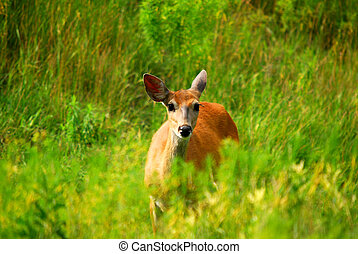 White-tailed deer - Female White-tailed Deer in a field of...