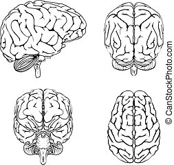 Brain from top side front and back - A diagram of a brain...