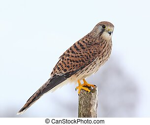 Common kestrel in winter - Kestrel, lat. Falco tinnunculus...