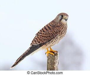 Common kestrel in winter - Kestrel, lat. Falco tinnunculus...