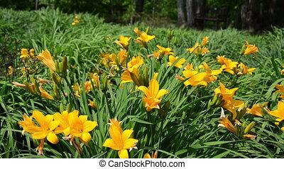 daylily flower - close of yellow Day lily or Hemerocallis...