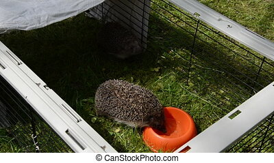 hedgehog animal lap water from orange dish in captivity cage...