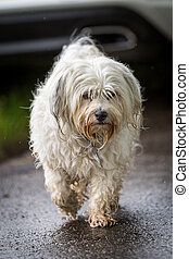 Step by Step - Small white Havanese goes in the rain on a...