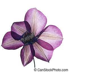 pressed clematis flower isolated on white