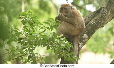 monkey sitting on a branch and eating fruit mango on a...
