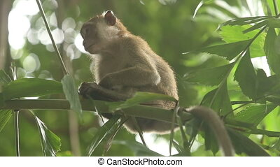 gray monkey sitting on a bamboo branch and looking around on...
