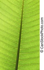 Leaf surface - Plumeria Leaf vien with sunlight shine thru