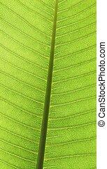 Leaf surface - Plumeria Leaf vien with sunlight shine thru