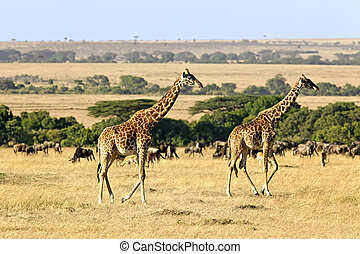 Masai Mara Giraffes - Giraffes Giraffa camelopardalis on the...
