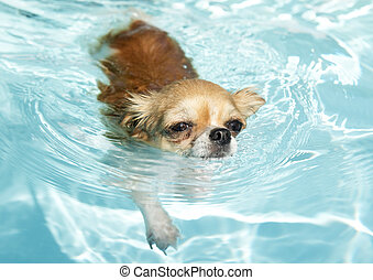 swimming chihuahua - portrait of a cute purebred chihuahua...