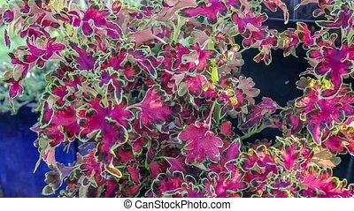 red nettle - beautiful red nettle with green stems in the...