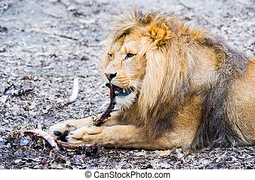 A lion eating a piece of meat - Lion dines with a large...