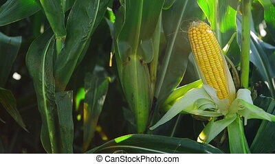 Corn Cob in field - Corn Cob in Cultivated agricultural...