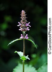 Stachys palustris - flower and leaves of Stachys palustris...
