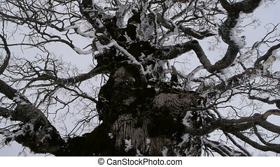 Andalusian oak branches frozen