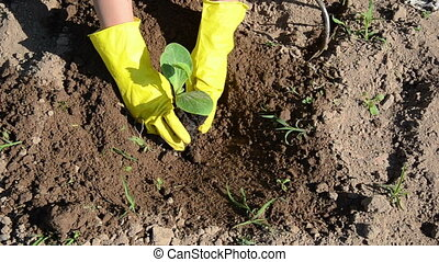 cucumber seedling - farmer with yellow rubber gloves...