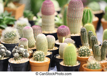 many cactus tree - many cactus tree in the seedlings farm