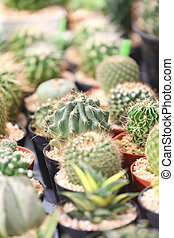 many cactus tree. - many cactus tree in the seedlings farm.