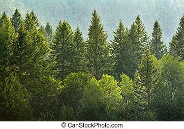 Forrest of Pine Trees in Rain - Forrest of green pine trees...