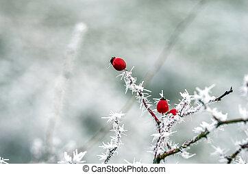 eglantine - Winter detail on frostbitten wild rose hips