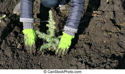 Planted the spruce, man working hands