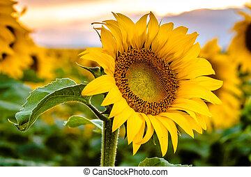 Sunflower field in bloom