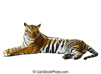 isolated white background of indochinese tiger face lying...