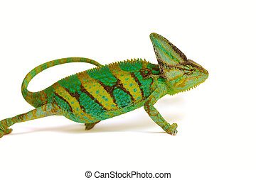 chameleon - green chameleon moves on a white background
