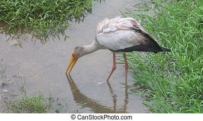 stork walks along the creek in search of food in the grass...