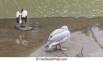 pelican spreads its wings and beak hides in shallow water in...