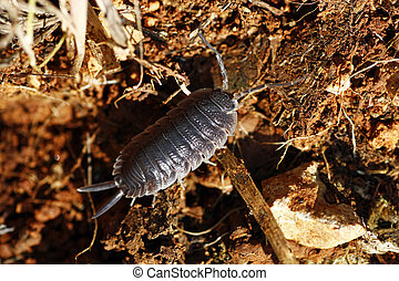 Woodlice - Closeup view of a woodlice bug walking on the...