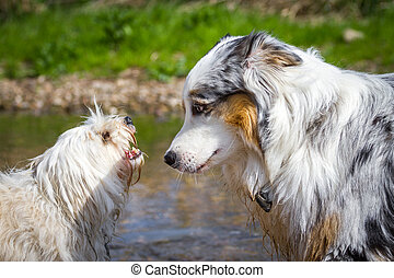 Confidential discussion - An Australian Shepherd can be...