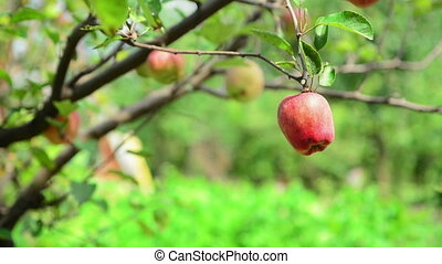 Male hand picking ripe apple fruit from a branch in orchard...