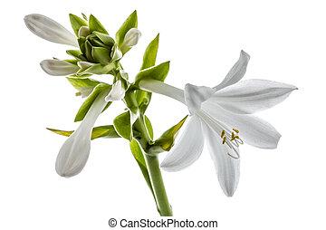 Flowers Hosts, lat. Hosta, isolated on white background