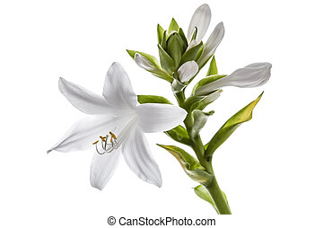 Flowers Hosts, lat Hosta, isolated on white background