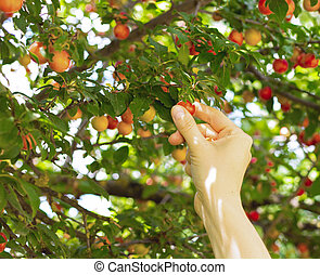 person picking red mirabelle fruit ,plum fruit