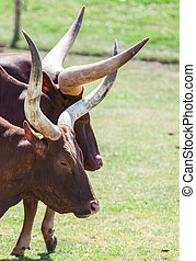 Long horn cattle in the sun
