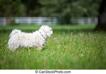 Dog in a meadow - Small white dog is tense in a meadow and...