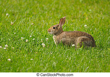 Wild rabbit in the grass and white clovers
