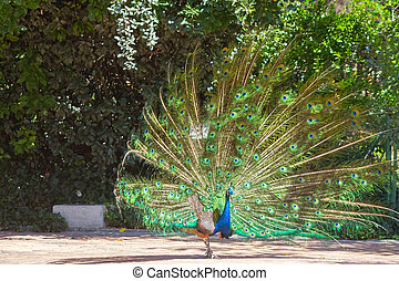 peacock with colorful tail fanned