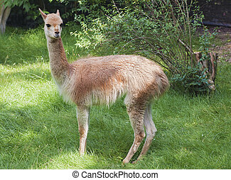 Young guanaco in profile in a zoo