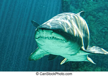 dangereux, taureau, requin, mâchoire, énorme